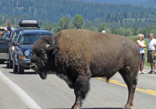 IMG_6718 bull bison stopped on road 10x8